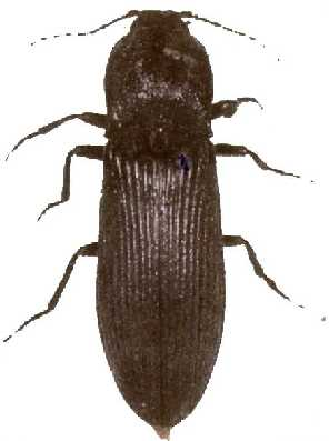 Figure 4 - Adult wireworm or click beetle.