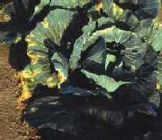 Black rot infected cabbage.