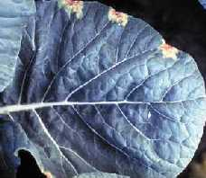 Black rot symptoms appear as dead tissue at the tips of (a) kale