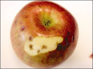 A single apple is shown exhibiting dark corky pits under a sunken spot on the skin of the 'Honeycrisp' apple. These pits are about one half centimetre to one centimetre in diameter.