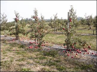 Several 'Honeycrisp' trees about 7 feet tall and staked are shown with apples scattered around the base of the trees. A good portion of the crop has let go and fallen to the ground before the grower has had a chance to harvest.
