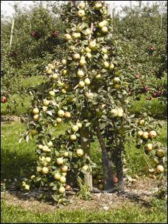 One 'Honeycrisp' tree on a dwarfing rootstock about 7 feet tall is shown with too many apples left on the tree after fruit set. This results in a profusion of small greenish coloured fruit, none of which are suitable for the fresh market