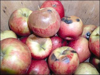 A view of about one dozen 'Honeycrisp' apples is shown highlighting various rots and decays. Fungicidal treatments in the preharvest stage of growth can help buffer these problems.