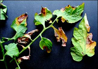 Figure 13: Yellowing and V-shaped lesions of verticillium wilt on tomato leaves.
