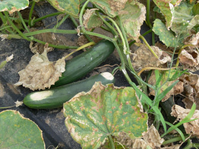 Leaves of cucumber plants severely infected with downy mildew eventually turn brown and curl giving the plant a brown crispy appearance. Unprotected cucumber fruit often develop sun scald and are not marketable.
