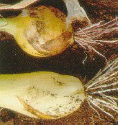 Pink root (bottom: healthy; top: infected).