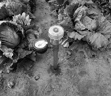 Tensiometer with analogue output (dial reading) installed in soil in lettuce field.