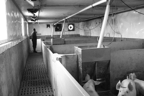 Photo of the interior of a swine-finishing facility showing continuously operating fans and inlets providing a constant air exchange.