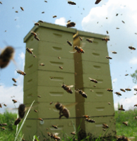 Photo of Honey bee colonies with honey bee actively foraging