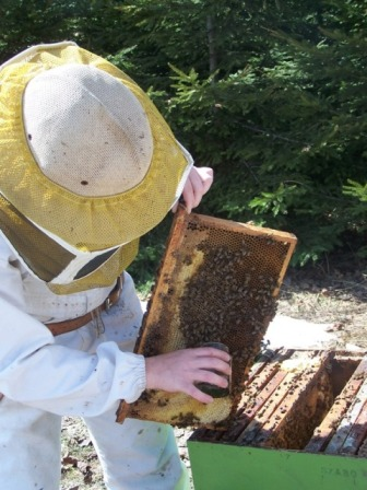 Collecting bees from the surface of the frame.
