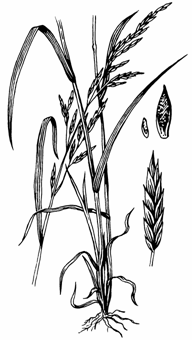 Illustration of meadow fescue which is bright-green.