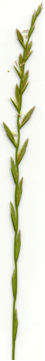 Photo of perennial ryegrass which is page-green in colour and is long, v-shaped with a sharp pointed tip.