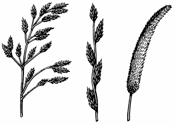 Illustrating showing the three forms of seed heads with the first with branching effect, the second has spikelets and the third has one unifirm spike with spaces.