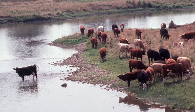 Beef cattle with easy access to a watercourse. Even though the banks are well vegetated and stable, the heifer lifting her tail while standing in the water is not a positive image for agriculture to portray to the public.