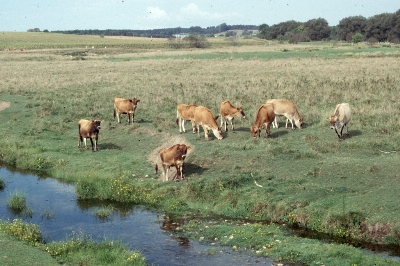 Jersey cattle grazing in an extensive pasture system. Note that the stream bank has relatively good vegetative cover.