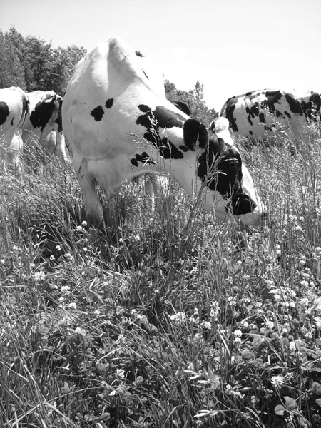 Dairy cows on organic pasture