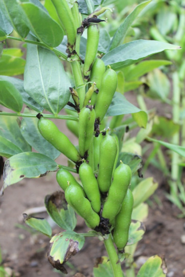 Close up photo of green faba bean pods.
