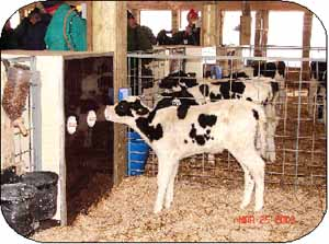 Photo 3. A calf nurses from a niple on the pen-side of the warm box.