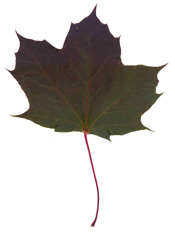 Norway Maple (Acer platanoides) - purple variety.