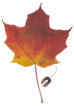 Sugar Maple (Acer saccharum) - fall colour.
