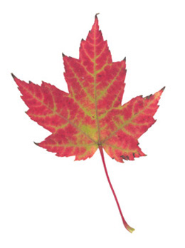Red Maple (Acer rubrum) - fall colour