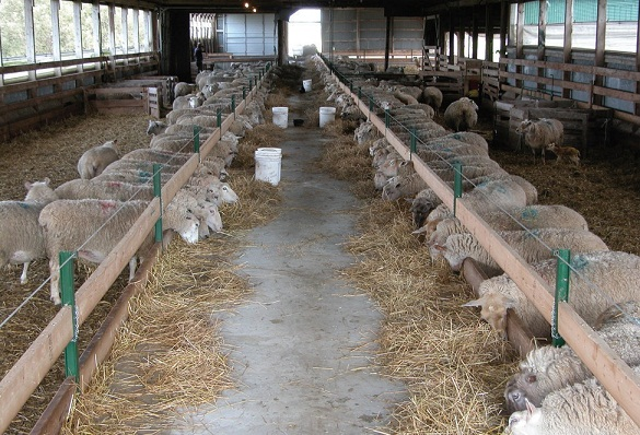 Inside view of a barn with drive-through alley between pens. Sheep are eating in alley.