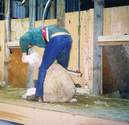 Shearer working on a raised deck, centre-board shearing set-up. The design provides catch pen doors, sheep slides and an ergonomic height for retrieving wool.