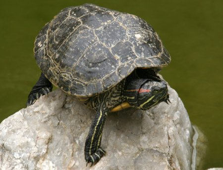 Red-eared slider on rock in a pond